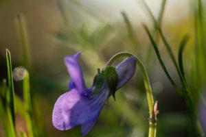 Confinement- Variations autour des Violettes